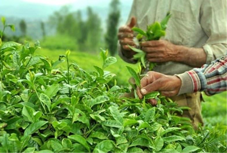 افزایش خرید تضمینی برگ سبزچای از چایکاران