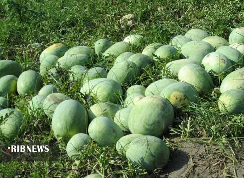تلخ و شیرین های محصول آبدار و ناب تابستان.