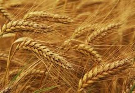 اجرای طرح پژوهشی تغذیه ای گندم آبی