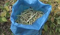 برداشت حبوبات از مزارع هزارجریب بهشهر