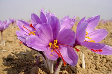 توسعه کشت زعفران در زرند