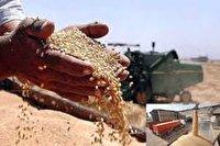 خرید ۶۱ هزار تن گندم در مازندران