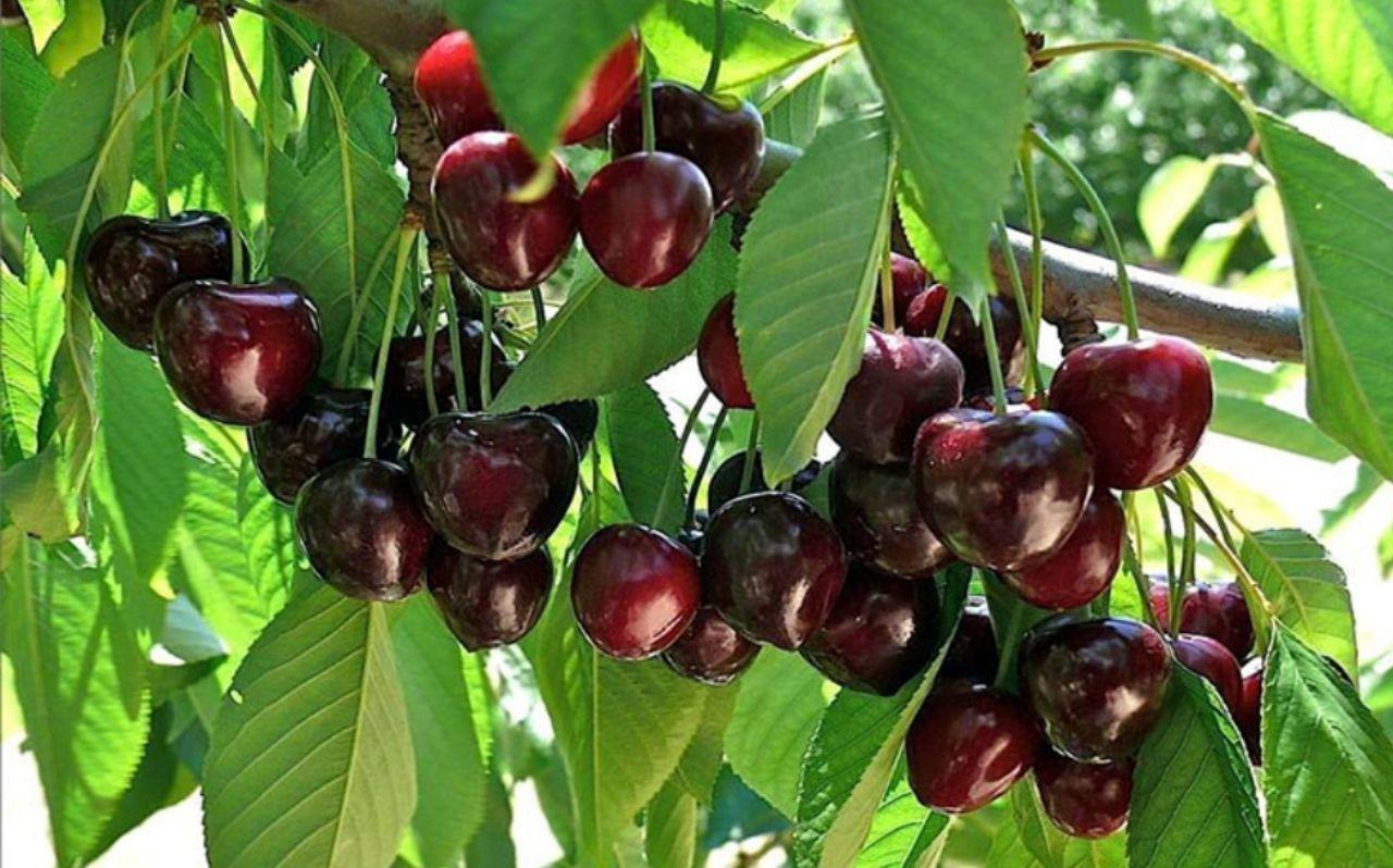 مازندران، رتبه نخست تولید پنج محصول باغی در کشور