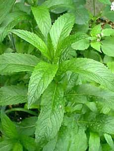 ۱۰ گیاه برای مبارزه با ویروسها