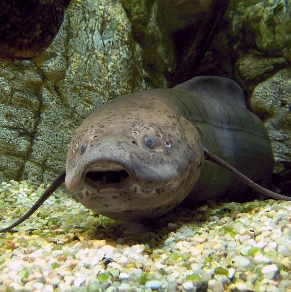 ماهی هایی که بی آب زندگی می کنند!