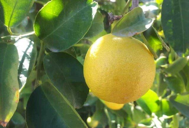 میوه شیرین باغ های قیروکارزین در راه بازار