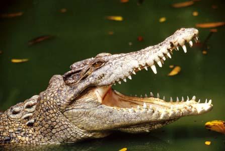 تمساح و ویژگیهای جالب آن