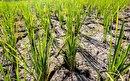 خشکسالی و کم آبی در کمین شالیزارهای شرق مازندران