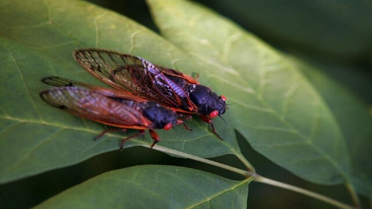 حشرهای که ۱۷ سال یکبار از زیر زمین بیرون میآید