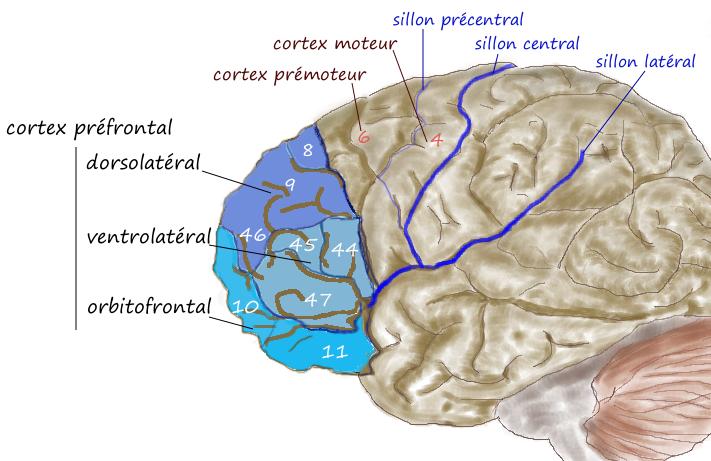 ویروس کرونا قشر خاکستری مغز را تغییر می دهد