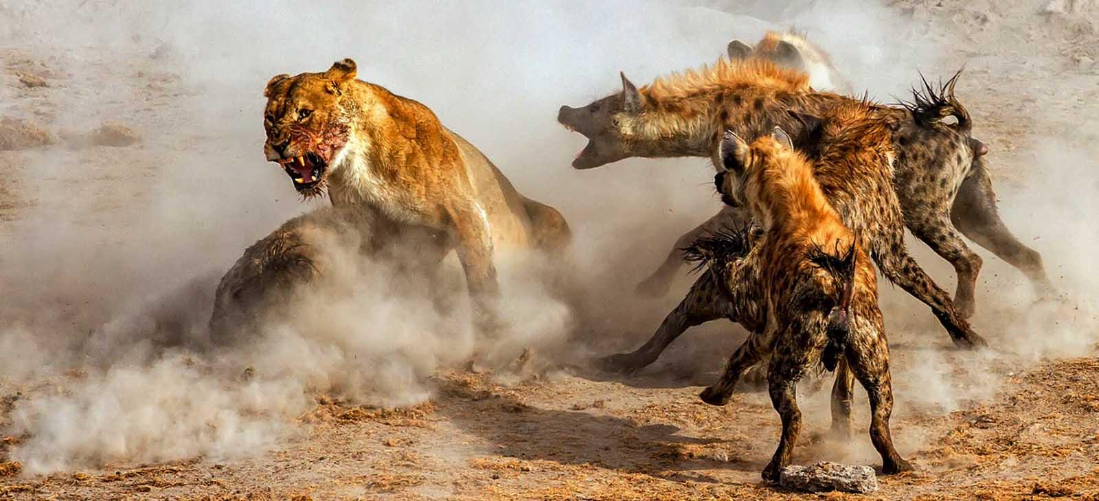 جنگ شیرها و کفتارها!