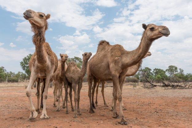 شتران قطری مسافران پرحاشیه گمرک!