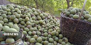 برداشت حدود ۱۶ هزار تن گردو در کرمان
