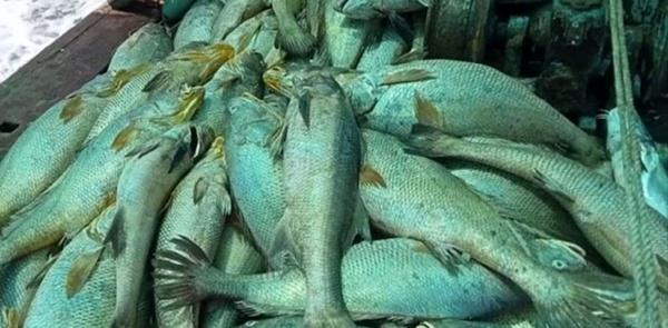 ماهیهایی که ماهیگیر را ثروتمند کردند!