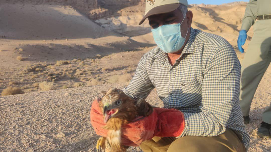رهاسازی چهارگونه پرنده شکاری در حیات وحش بافق
