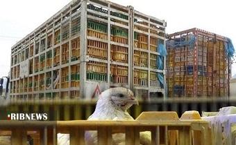 کشف بیش از ۲ هزار قطعه مرغ قاچاق در سلطانیه
