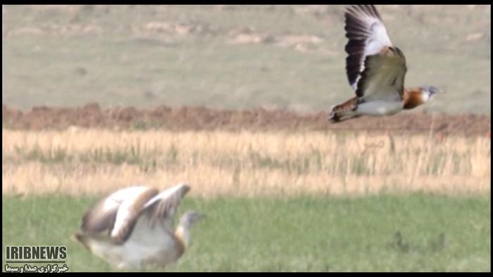 گزارش مکتوب ردپای میش مرغ! + فیلم