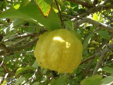 فصل زمستان؛ و برداشت میوهای گرمسیری در جنوب سیستان و بلوچستان