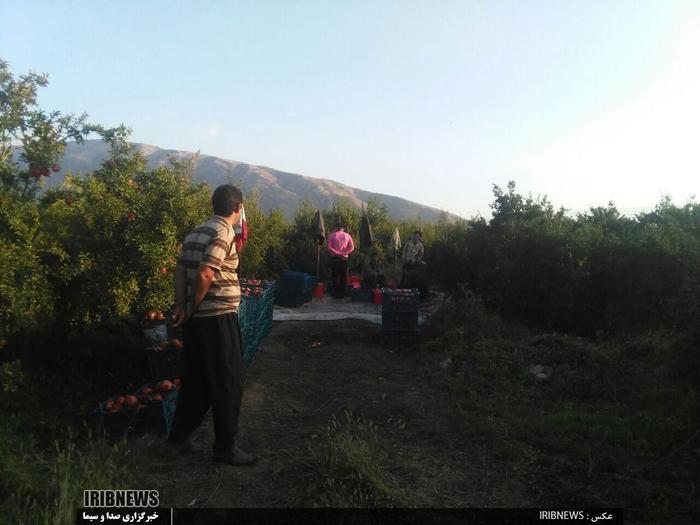 برداشت انار از متمرکزترین انارستان کشور در کوهدشت  عکس: روح الدین طرحانی نژاد
