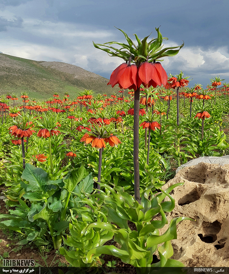 لاله های واژگون در دشت دالانی الیگودرز  عکس: غلامرضا غلامپور