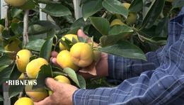 thm 5419694 242 - برداشت میوه پاییزی و پر طرفدار خرمالو در غرب مازندران