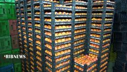 thm 5419696 213 - برداشت میوه پاییزی و پر طرفدار خرمالو در غرب مازندران