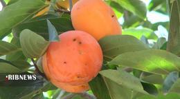 thm 5419698 259 - برداشت میوه پاییزی و پر طرفدار خرمالو در غرب مازندران