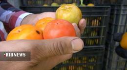 thm 5419699 213 - برداشت میوه پاییزی و پر طرفدار خرمالو در غرب مازندران