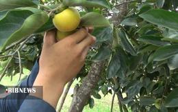 thm 5419701 308 - برداشت میوه پاییزی و پر طرفدار خرمالو در غرب مازندران