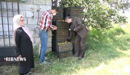 thm 5419703 555 - برداشت میوه پاییزی و پر طرفدار خرمالو در غرب مازندران
