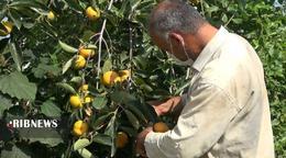 thm 5419704 296 - برداشت میوه پاییزی و پر طرفدار خرمالو در غرب مازندران