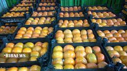 thm 5419707 588 - برداشت میوه پاییزی و پر طرفدار خرمالو در غرب مازندران