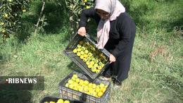 thm 5419709 816 - برداشت میوه پاییزی و پر طرفدار خرمالو در غرب مازندران