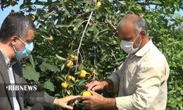 thm 5419710 855 - برداشت میوه پاییزی و پر طرفدار خرمالو در غرب مازندران