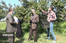 thm 5419711 223 - برداشت میوه پاییزی و پر طرفدار خرمالو در غرب مازندران