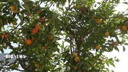 thm 5419712 834 - برداشت میوه پاییزی و پر طرفدار خرمالو در غرب مازندران